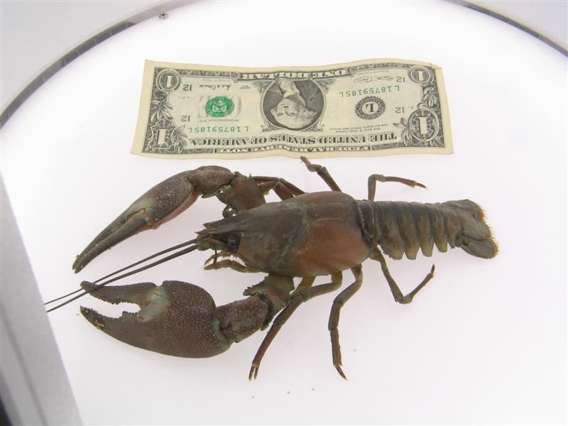Raise GIANT CRAYFISH easily!