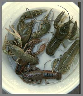 Raise giant freshwater crayfish- easily!